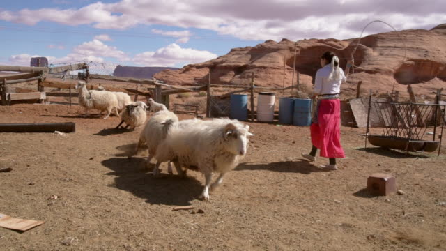 a navajo teenage girl in a sheep pen roping a young lamb - herding stock videos & royalty-free footage