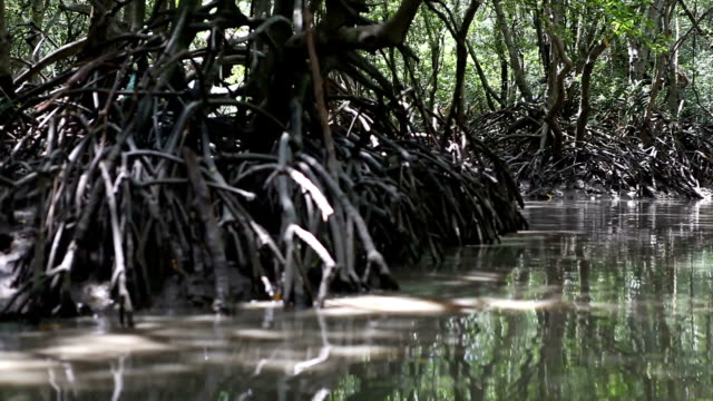 navigating through a mangrove forest - mangrove tree stock videos & royalty-free footage