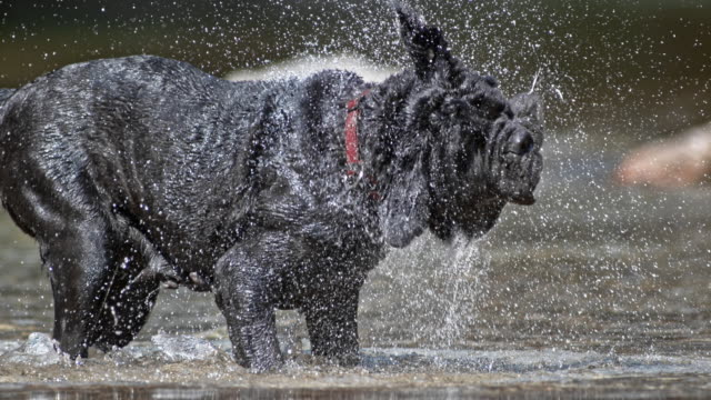 slo mo neapolitan mastiff shaking off water in sunshine - animal head stock videos & royalty-free footage