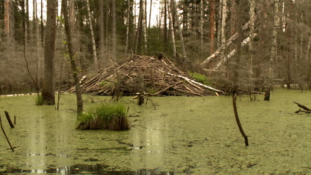 near beaver home - beaver stock videos & royalty-free footage