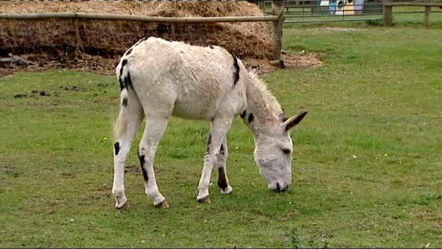 donkeys and a llama in paddock at horton park children's farm - サリー州点の映像素材/bロール