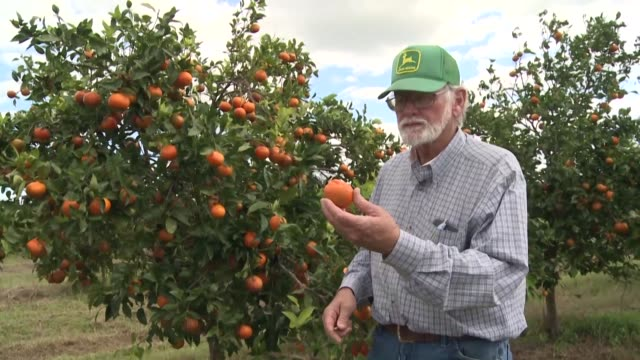 nearly 15 years after a citrus disease carrying bug landed from china decimating more than 90% of florida's groves growers and scientists are... - afp stock videos & royalty-free footage