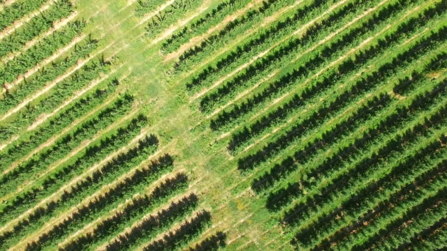 Neat rows of fruit trees, aerial video