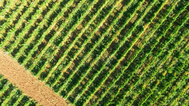 neat rows of vineyards, aerial video - plantation stock videos & royalty-free footage