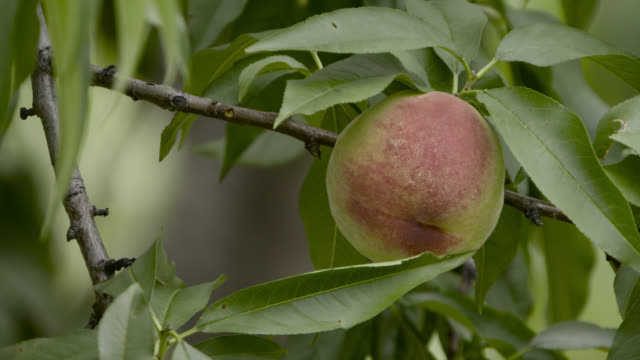 vidéos et rushes de nectarine(?) growing on tree, japan. - plante cultivée