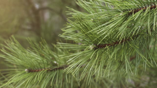 needles of pine tree a green branch of a christmas tree with sharp needles moving in the wind. stock video - pine stock videos & royalty-free footage