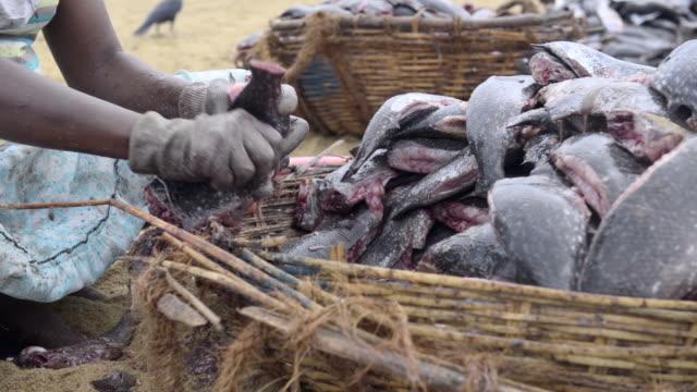 vídeos de stock, filmes e b-roll de negombo fish market (lellama fish market), a woman gutting fish, negombo, west coast of sri lanka, asia  - grupo mediano de animales