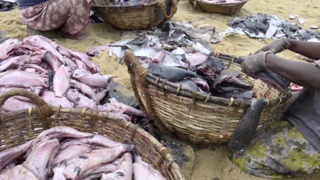 vídeos de stock e filmes b-roll de negombo fish market (lellama fish market), a woman gutting fish, negombo, west coast of sri lanka, asia  - amanhar o peixe