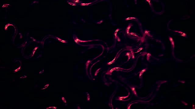 """nematode worms, fluorescent microscopy"" - fluorescent stock videos & royalty-free footage"