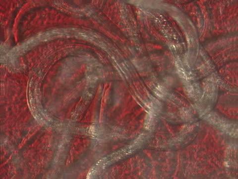 vídeos de stock e filmes b-roll de nematodes - estrutura da célula