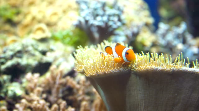 nemo and anemone - symbiotic relationship stock videos & royalty-free footage