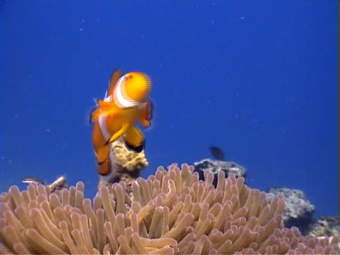 stockvideo's en b-roll-footage met nemo clownfish anemonefish - various - 2007
