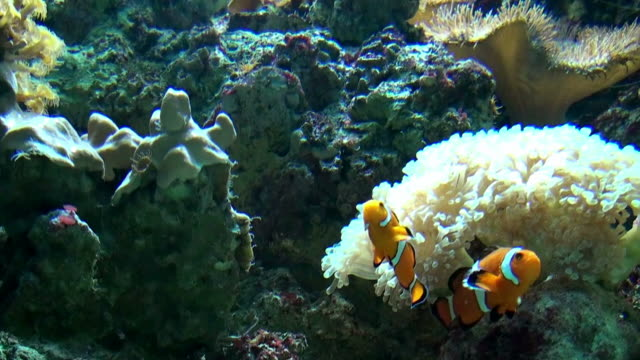nemo clownfish - two animals stock videos and b-roll footage