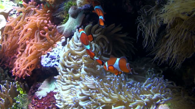 vidéos et rushes de poisson-clown nemo - corail cnidaire