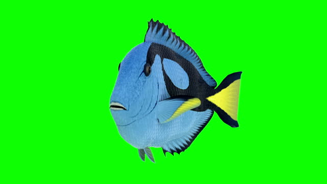 nemo - clownfish (loopable) - fish stock videos & royalty-free footage
