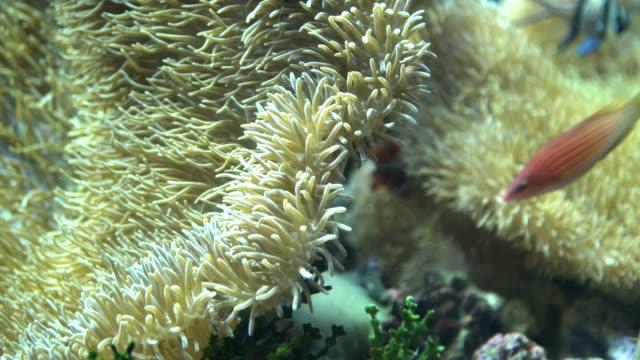 Nemo verbergen onder anemone