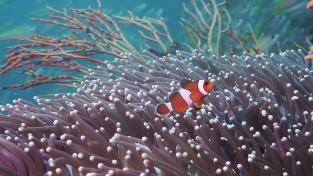 nemo in the wild in sea anemone coral reef - symbiotic relationship stock videos & royalty-free footage