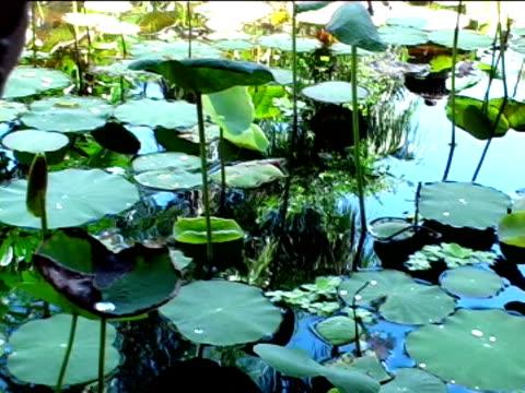 vídeos y material grabado en eventos de stock de nenufar - water plant