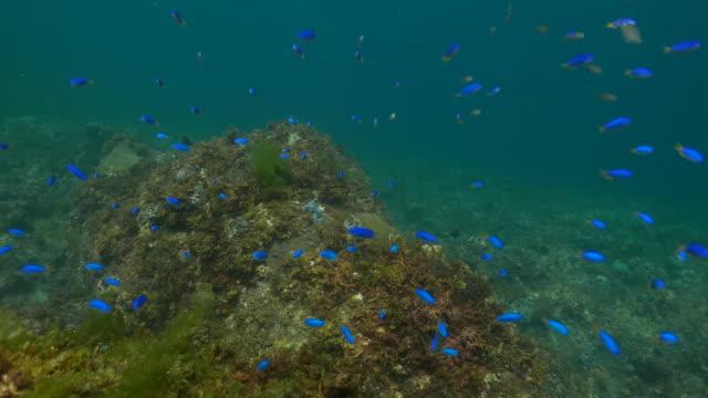 neon riffbarsch ausbildung im korallenriff unterwasser, taiwan (4k - seegras material stock-videos und b-roll-filmmaterial