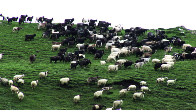 vidéos et rushes de nepal : herd of sheep in a mountain - troupeau