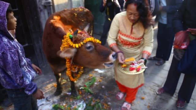 Nepalese Hindu devotees worship and offers fruit to a cow regarded as an incarnation of the Hindu Goddess of prosperity Laxmi during the Tihar...