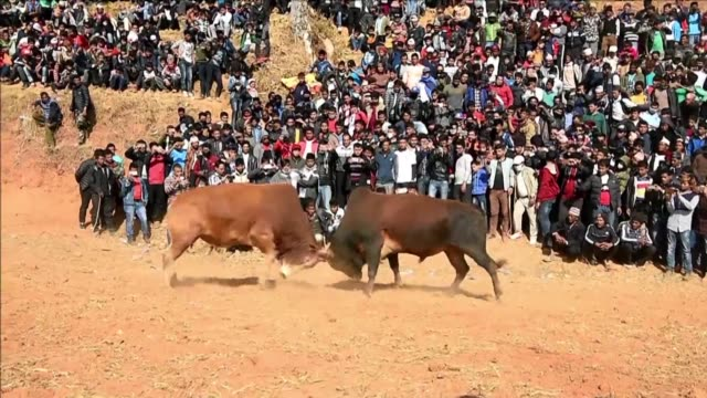Nepalis gathered Monday to watch bullfights during the Maghesangranti festival in the remote Nepali village of Taruka some 80 kilometres from...
