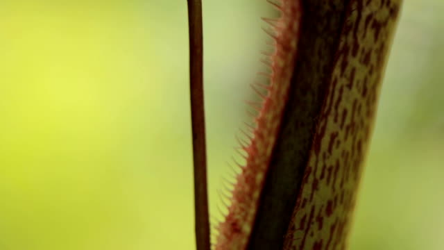 nepenthes, tropical pitcher plants and monkey cups. - carnivorous plant stock videos and b-roll footage