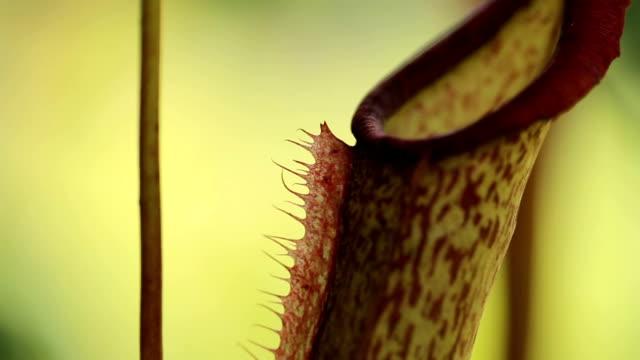vídeos y material grabado en eventos de stock de nepenthes plantas de jarra tropicales y tazas del mono. - carnivorous plant