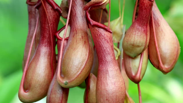 nepenthes × ventrata detail - insectivore stock videos & royalty-free footage