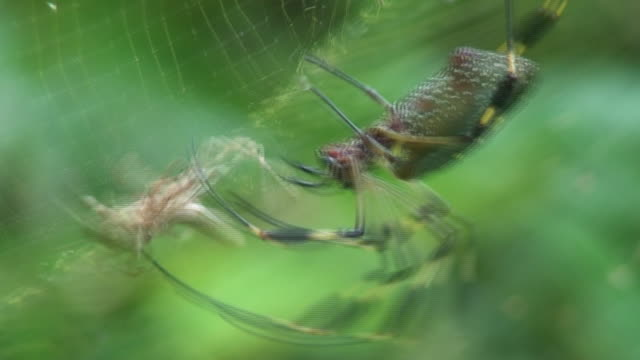 nephila antipodiana attack on grasshopper - toxic substance stock videos & royalty-free footage