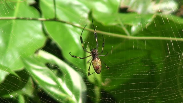 nephila antipodiana - costa rica - spider web stock videos & royalty-free footage