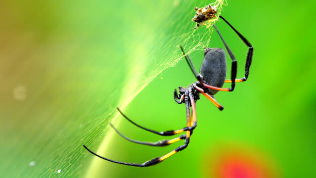 nephila inaurata - reunion island - insect stock videos and b-roll footage