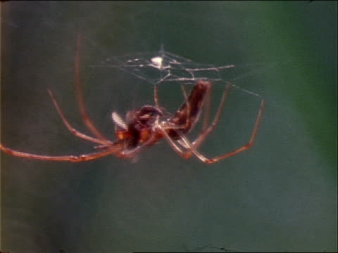 a nephila spider hangs from its web while eating an insect. - invertebrate stock videos & royalty-free footage