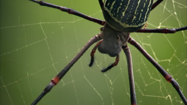 Nephila spider on web in forest, Kyambura gorge, Uganda