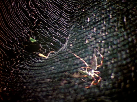 a nephila spider repairs its web. - invertebrate stock videos & royalty-free footage