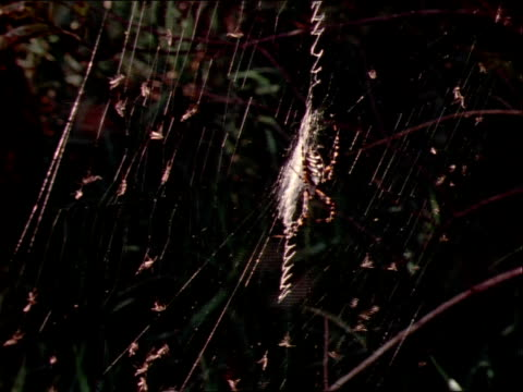 a nephila spider waits on its large web as small insects are ensnared. - invertebrate stock videos & royalty-free footage