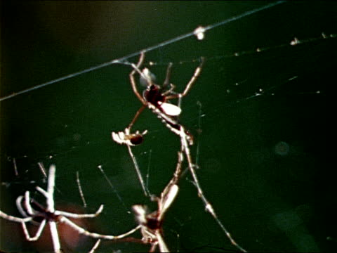 vídeos y material grabado en eventos de stock de nephila spiders and various other spiders crawl across a web. - artrópodo
