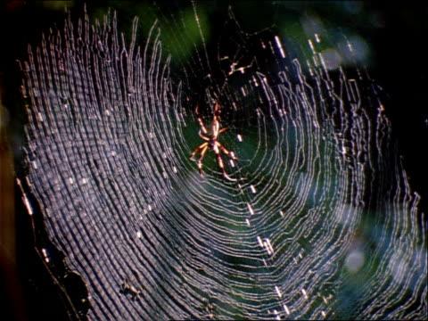 stockvideo's en b-roll-footage met nephila spiders rest in the center of circular webs. - ongewerveld dier