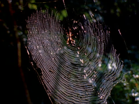 vídeos y material grabado en eventos de stock de nephila spiders rest in the center of circular webs. - artrópodo