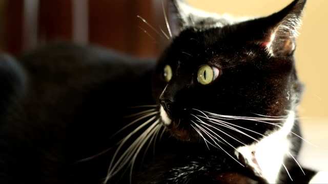 nervous black and white cat - alertness stock videos & royalty-free footage