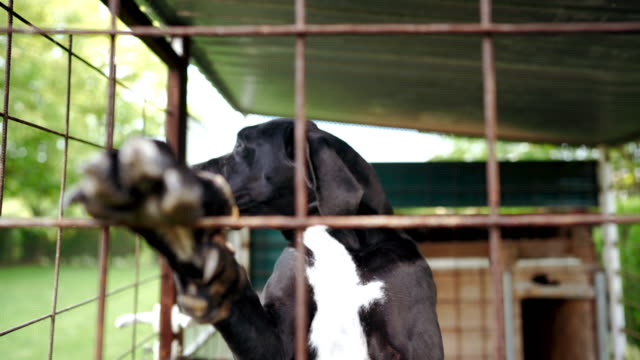nervous great dane dog in cage - rescue stock videos & royalty-free footage