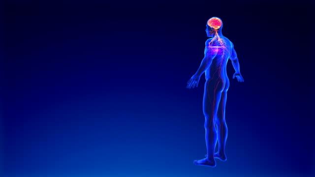 vídeos de stock, filmes e b-roll de sistema nervoso - lobo temporal
