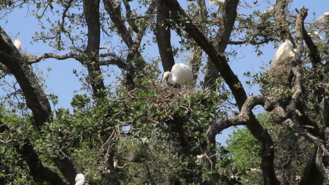 nest making - egret stock videos & royalty-free footage