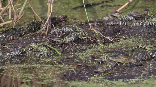 nest of baby alligators - pälsteckning bildbanksvideor och videomaterial från bakom kulisserna