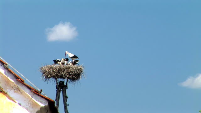 vidéos et rushes de hd : nest des cigognes - petit groupe d'animaux