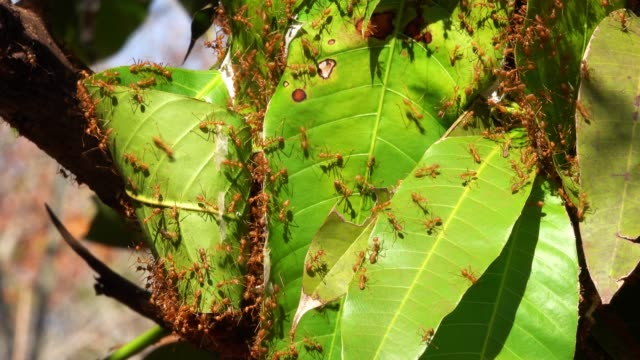 nest red fire ants - large group of animals stock videos and b-roll footage