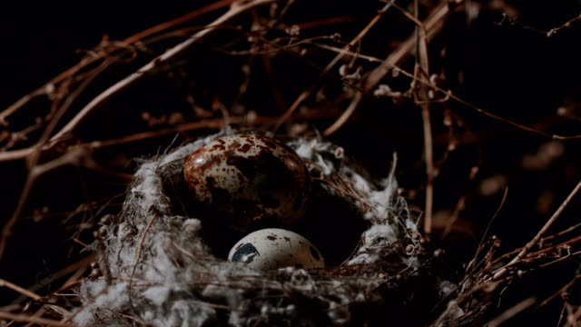 nest with quail eggs in branches. close up - bird's nest stock videos & royalty-free footage