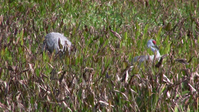 nestbuilding sandhill cranes - tall high stock videos & royalty-free footage