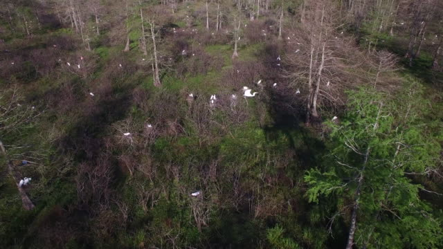 nesting birds flying down to - drone aerial 4k everglades, swamp bayou with wildlife alligator nesting ibis, anhinga, cormorant, snowy egret, spoonbill, blue heron, eagle, hawk, cypress tree 4k nature/wildlife/weather drone aerial video - bayou lafourche stock-videos und b-roll-filmmaterial
