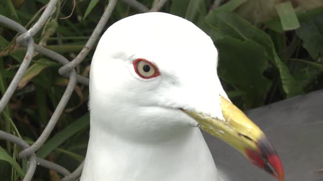 nesting black-tailed gulls on kabushima, aomori - nido di animale video stock e b–roll